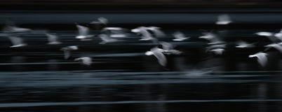Estratto del gabbiano di volo Immagine Stock