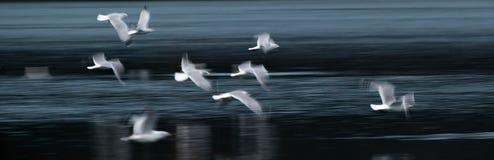 Estratto del gabbiano di volo Fotografia Stock