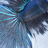 Estratto del pesce della coda di Betta fotografia stock libera da diritti