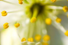Estratto del petalo della ciliegia Fotografie Stock