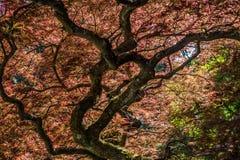 Estratto 2 dell'acero giapponese Fotografia Stock