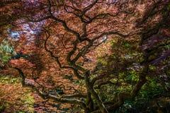 Estratto dell'acero giapponese Fotografie Stock Libere da Diritti