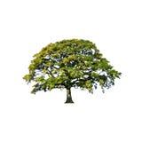 Estratto dell'albero di quercia di estate Fotografia Stock
