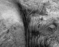 Estratto dell'elefante Fotografie Stock Libere da Diritti