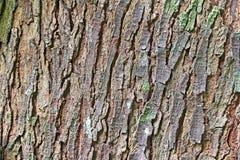 Estratto della corteccia di albero di mogano Immagini Stock Libere da Diritti