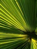 Estratto della fronda della palma Immagini Stock Libere da Diritti