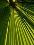 Estratto della fronda della palma Fotografia Stock Libera da Diritti