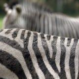 Estratto della zebra Fotografia Stock Libera da Diritti