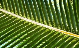 Estratto di Fron della palma Fotografie Stock Libere da Diritti