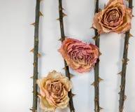 Estratto - gambo rosa secco con la spina Fotografia Stock