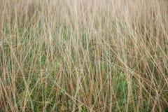 Estratto naturale di Reed Thatch Detail Hay Straw della pila del fondo di agricoltura Defocused di struttura barrato Fotografia Stock