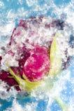 Estratto rosso del ghiaccio di Rose Frozen In Cracked Blue Fotografia Stock
