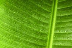 Estratto verde della foglia della banana del primo piano e del fondo della goccia di acqua Immagini Stock