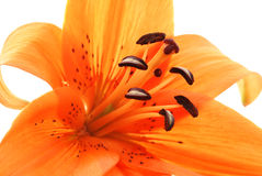 Estratto vicino in su del giglio arancione Fotografie Stock Libere da Diritti