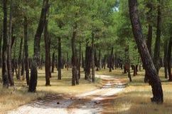Estrazione della resina della foresta del pino Fotografia Stock
