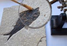 Estrazione fossile del pesce Immagine Stock