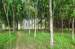 Estrazione naturale del lattice dell'albero di gomma Fotografia Stock