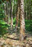 Estrazione naturale del lattice dell'albero di gomma Piante della hevea in Tailandia Fotografia Stock Libera da Diritti