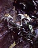 Estrela alpina Imagem de Stock Royalty Free