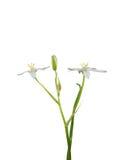 Estrela--Bethlehem (umbellatum do Ornithogalum) Imagem de Stock