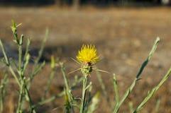 Estrela-cardo amarelo Fotografia de Stock