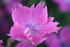 Estrela cor-de-rosa Imagens de Stock Royalty Free