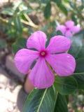 Estrela da flor cinco Imagens de Stock