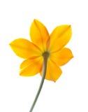 Estrela da flor de Bethlehem Fotografia de Stock