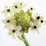 Estrela da flor de bethlehem Fotos de Stock Royalty Free