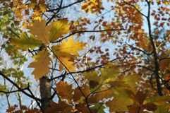 Estrela das folhas (outono) Foto de Stock Royalty Free