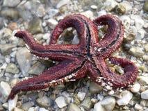 Estrela de mar fotos de stock royalty free