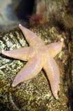 Estrela de mar Imagens de Stock Royalty Free