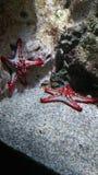 Estrela de mar Foto de Stock Royalty Free