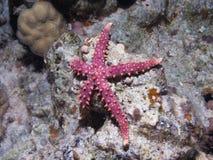 Estrela de mar cinzenta do egyptiaca de Gomophia da estrela do mar em um núcleo Fotografia de Stock