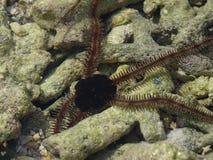 Estrela de mar da serpente em corais Imagem de Stock Royalty Free