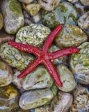 Estrela de Mar Vermelho na praia colorida dos pebles Fotografia de Stock Royalty Free