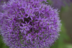 Estrela de persia Foto de Stock
