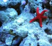 Estrela do mar Imagens de Stock Royalty Free
