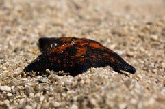 Estrela do mar alaranjada na areia Fotografia de Stock