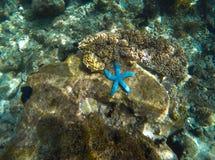 Estrela do mar azul no recife de corais Parte inferior de mar ensolarada na lagoa tropical Cinco peixes da estrela dos tentáculos Fotos de Stock Royalty Free
