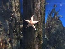 Estrela do mar bonita em um fundo azul fotografia de stock royalty free
