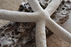 Estrela do mar branca na madeira lançada à costa foto de stock