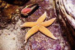 Estrela do mar da beleza no recife das águas profundas e na ostra próxima Fotos de Stock Royalty Free