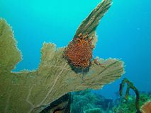 Estrela do mar da cesta fotos de stock royalty free