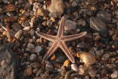 Estrela do mar de Brown em uma praia da areia Imagens de Stock Royalty Free