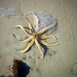 Estrela do mar de cabeça para baixo Imagens de Stock Royalty Free