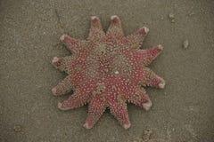 A estrela do mar de Sun que ondula acima dele é dedos do pé após o encalhamento Foto de Stock Royalty Free