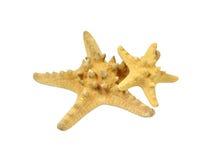 Estrela do mar dois do tamanho diferente Imagens de Stock Royalty Free