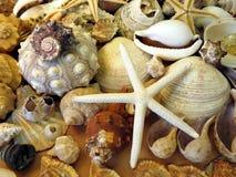Estrela do mar e escudos foto de stock royalty free