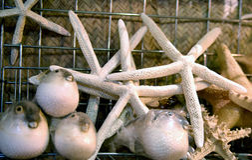 estrela do mar e peixes do soprador na loja de lembranças Imagem de Stock